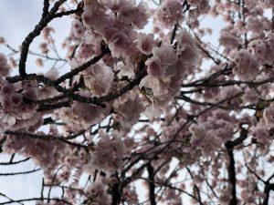 桜咲いてきました!